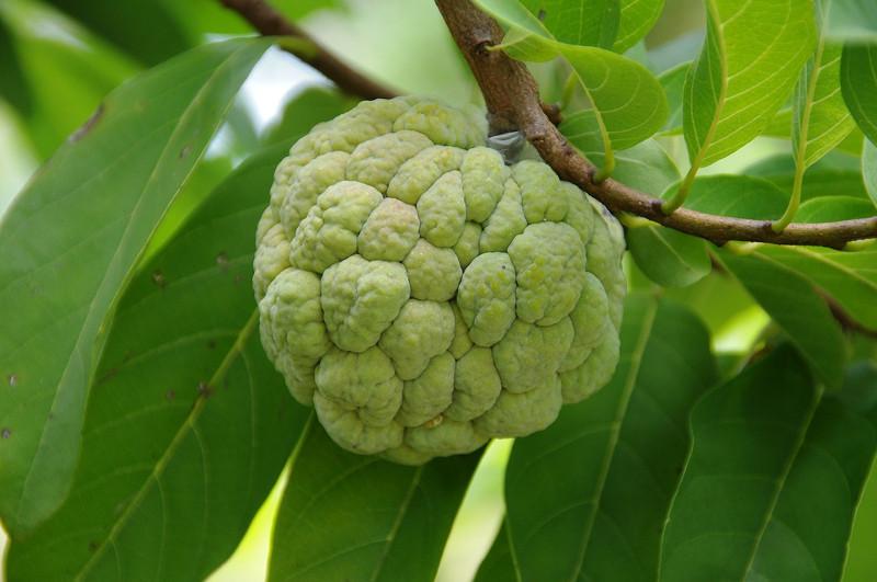 Frutatua Chirimoya